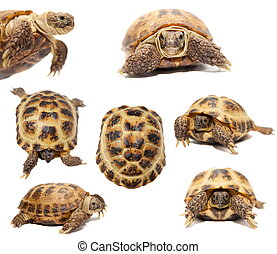 Russian or Central Asian tortoise on white - Russian or...