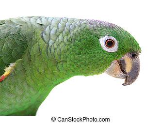 Mealy, amazonka, papuga, biały, tło