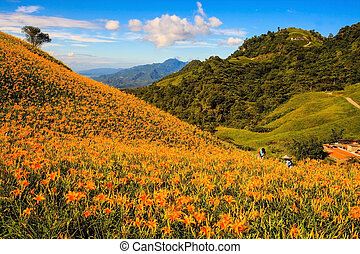 orange daylily on sixty stone mountain, Taiwan - Daylily on...