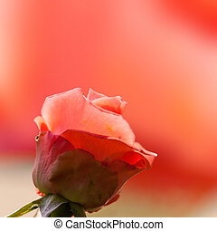 Natural roses background for adv or others purpose use
