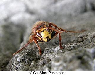 大黃蜂, (Vespa, crabro)