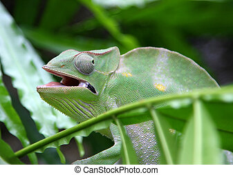 Chameleon camouflages itself in the midst of the green...