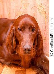 Retriever dog face With orange background