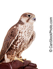Saker Falcon isolated on white - Saker Falcon - Falco...