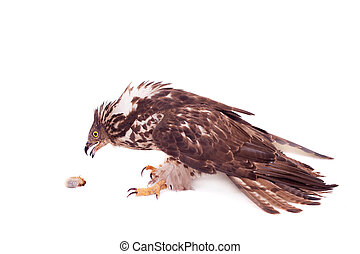 European Honey Buzzard on white - European Honey Buzzard -...