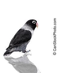 Black masked lovebird on white - Black masked lovebird...