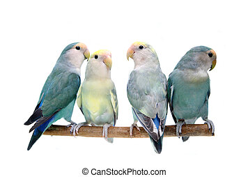 Four Peach-faced Lovebirds on white - Four Peach-faced...