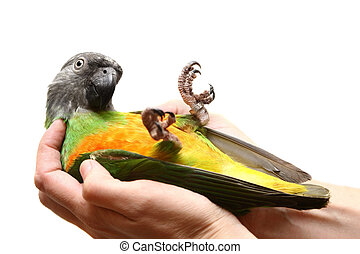 Senegal Parrot on white - Senegal Parrot, Poicephalus...