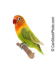 Lovebird isolated on white, Agapornis fischeri, Fischers...