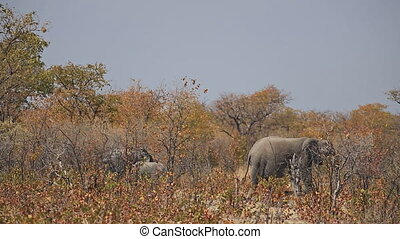 Elephants in Etosha - Elephants walking in the savannah,...