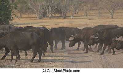 African buffalos cattle crossing track - Side view of...