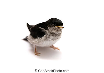 Sand Martin swallow on white - Baby bird of Sand Martin...