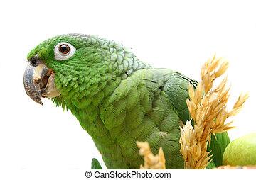 Mealy, amazonka, papuga, jedzenie, biały