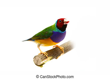 Gouldian Finch on white background - Gouldian Finch -...