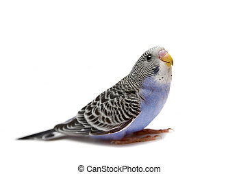 Budgie 1,5 mounths on white - Budgie 1,5 mounths isolated on...