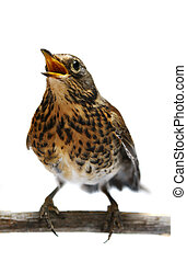 The female Fieldfare on white - The female Fieldfare, Turdus...