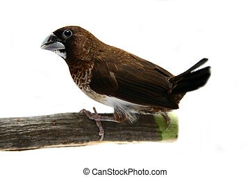 lonchura,  striata,  white-rumped,  munia