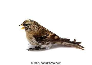 Common Redpoll on white - Female of Common Redpoll,...