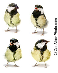 The female great tit set on white