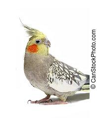 Cockatiel parakeet 4 years old
