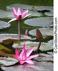 Sir Seewoosagur Ramgoolam Botanical Garden in Pamplemousses,...