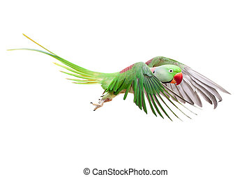 Big green ringed or Alexandrine parakeet on white - Big...