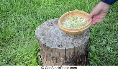 herbalist mint camomile - Herbalist girl hand put wicker...