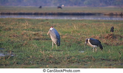 Pair of Marabous - Long view of Marabous standing over grass
