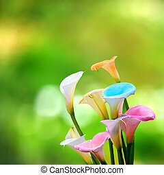 Calla lily field for adv or others purpose use
