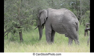 wild elephant in krugerpark - wildlife elephant in south...