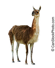 Guanaco - Standing guanaco. Isolated on white background