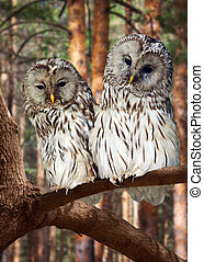 Two Great Grey Owls  on tree at pine forest