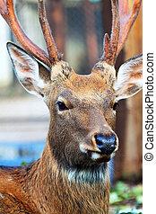 Sika deer (Cervus nippon) - Sika deer (Cervus nippon) also...