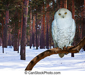 Snowy Owl at pine forest - Snowy Owl Bubo scandiacus at pine...