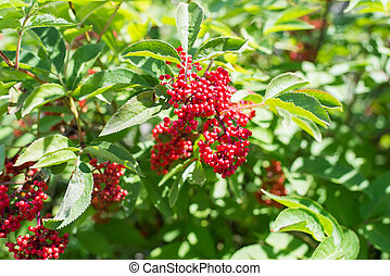 Sambucus - Bush with the red berries