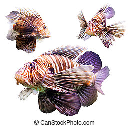 Set of Red lionfish - Set of venomous fish Red lionfish...