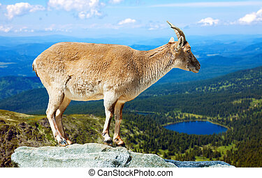 barbary sheep on rock - Standing barbary sheep on rock in...