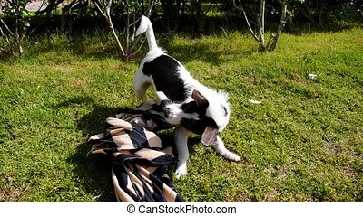 Cute Laughable Dog Playing and Having Fun on Grass in...