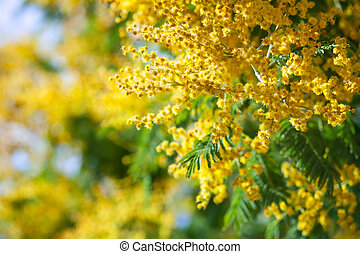 Acacia dealbata - Blossoming spring Acacia dealbata with...