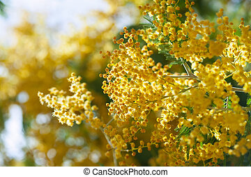 spring Acacia dealbata - spring Acacia dealbata with buds on...