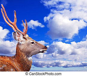 Head of Sika deer (Cervus nippon) against sunset sky