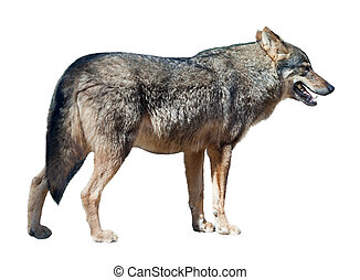 Iberian wolf on white background - Iberian wolf (canis lupus...