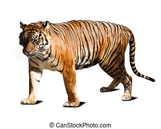 tiger - Adult tiger Isolated on white background with shade...