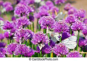 Allium field with Butterflies - Allium Schoenoprasum field...