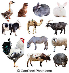 Set of cock and other farm animals Isolated over white...