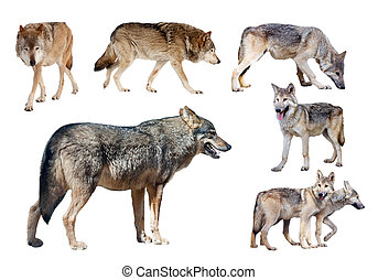 few wolves Isolated on white background