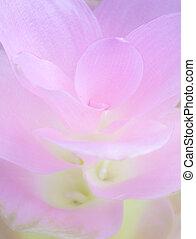 Cor-de-rosa, pétala, Siam, tulipa