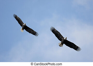 Pair of Adult Bald Eagles haliaeetus leucocephalus in flight...