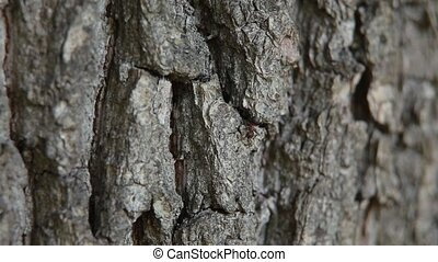 ants on the bark - black ants crawling on the bark of an oak