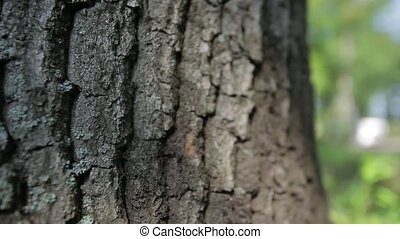 bark of oak tree Dolly shot